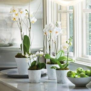 moth-orchids-x