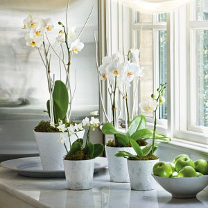 moth-orchids-x